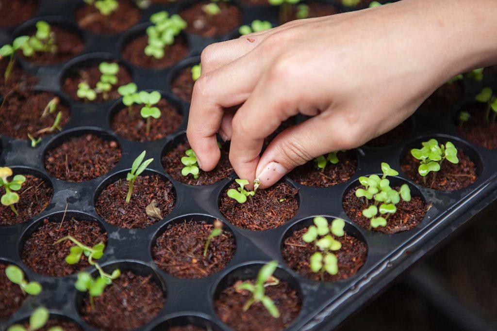 Kasvien versoja idätysalustoilla. Käsi poimimassa yhtä versoa.