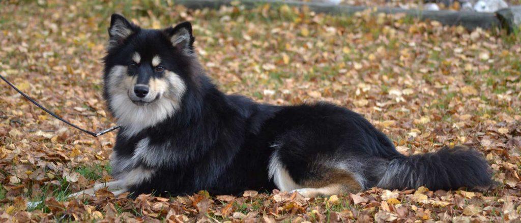 Tumma koira syksyisellä ruohikolla makoilee odottavalla ilmeellä.